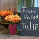 brills tulips